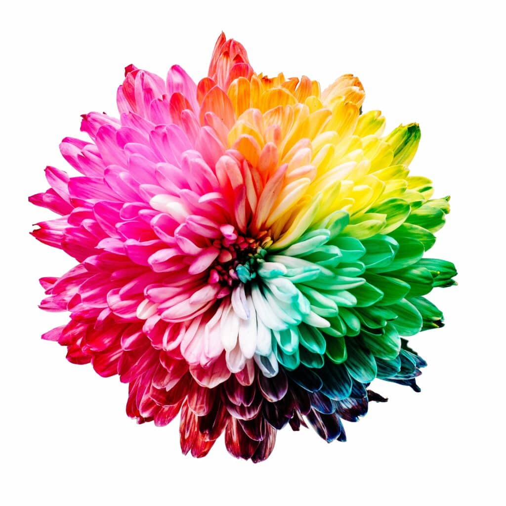 A mum flower with its petals dyed rainbow colours